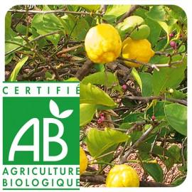 Prophar - Huile Essentielle Basilic Exotique Bio - 10 ml